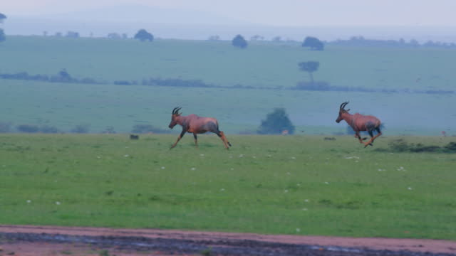 topi's chasing each other, maasai mara, kenya, africa - altri temi video stock e b–roll