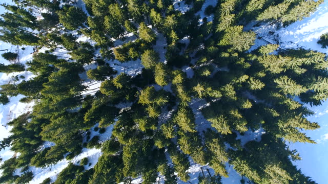 Tops of coniferous forest on a cold winter day