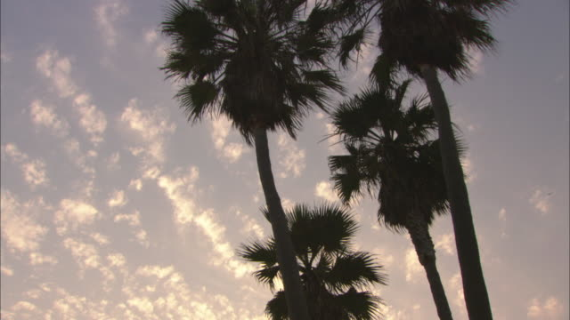 vídeos y material grabado en eventos de stock de ms td ws tops of tall palm trees (washingtonia robusta or mexican fan palm) against evening sky and beach / venice beach, california, usa - fan palm tree