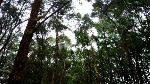 Tops of Tall Trees on Either Side of Dirt Road in Forest
