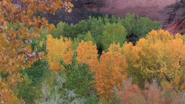 MS PAN Tops of trees with autumn leaves at bottom of rock wall/ Canyon de Chelly National Monument, Arizona