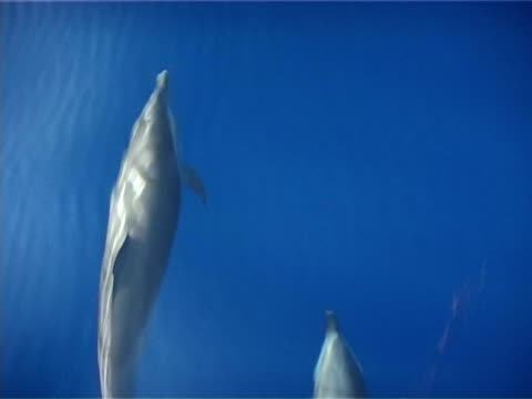 topside spinner dolphins bowriding, close up, cu, sipadan, malaysia - cetacea stock videos & royalty-free footage