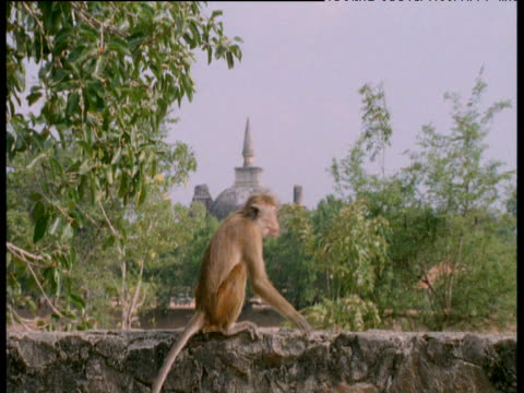 vidéos et rushes de toque macaque moves back and forth on wall with temple dome in background, polonnaruwa - bercement