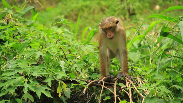 stockvideo's en b-roll-footage met toque macaque - dierenverzorging