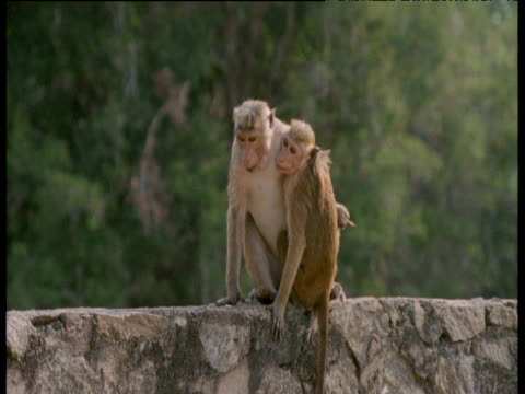 vídeos de stock, filmes e b-roll de toque macaques hugging after mating then separate and sit on wall, polonnaruwa - macaco