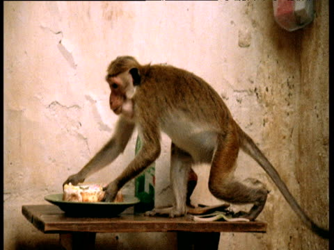 toque macaques raid house and steal cake, polonnaruwa, sri lanka - stealing stock videos & royalty-free footage