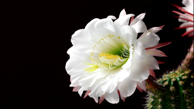 echinopsis spachiana bloom - cactus video stock e b–roll