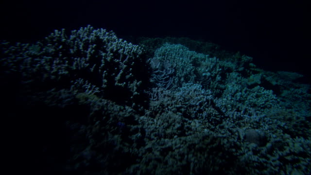 torchlight on coral reef at night, manado, indonesia - koralle nesseltier stock-videos und b-roll-filmmaterial