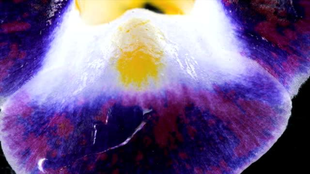 torenia flower in acid - blütenblatt stock-videos und b-roll-filmmaterial