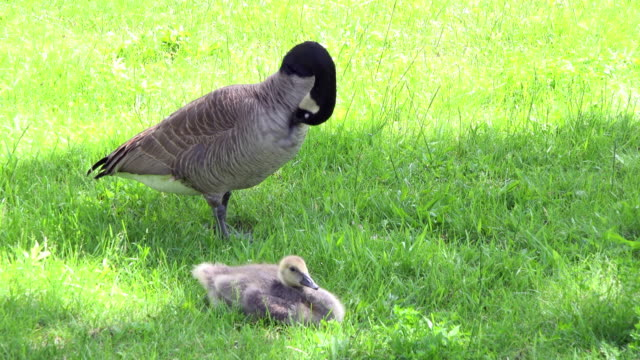 toronto canada: branta canadensis or canadian goose with goslings during the spring season in the city. - canada goose stock videos & royalty-free footage