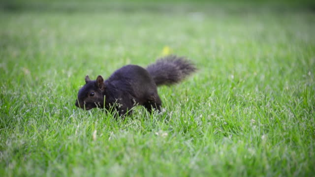 toronto canada: squirrel on the green lawn of queen's park - ふわふわ点の映像素材/bロール
