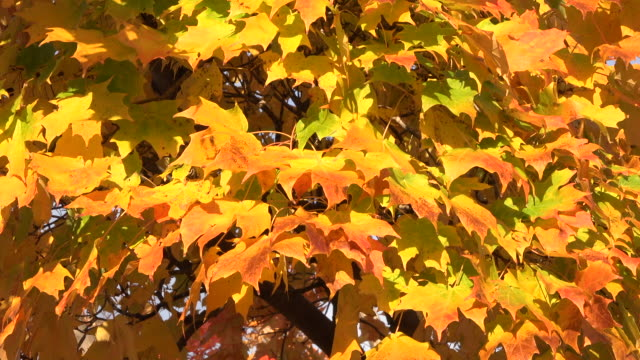 toronto, canada: the beautiful colours of autumn or fall in an urban area - maple leaf stock videos and b-roll footage