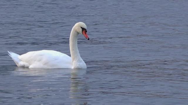 stockvideo's en b-roll-footage met toronto, canada: white mute swan in the waters of lake ontario - knobbelzwaan