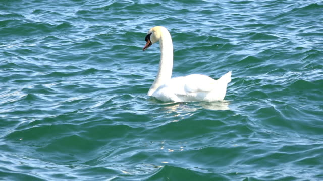toronto canada: white swam in the water of the lake ontario - water bird stock videos & royalty-free footage