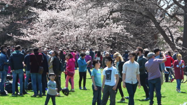 toronto, ontario, canada-april 27, 2019: tourists and locals watching the cherry tree blossoms in high park which is a famous place and tourist... - cherry blossom stock videos & royalty-free footage