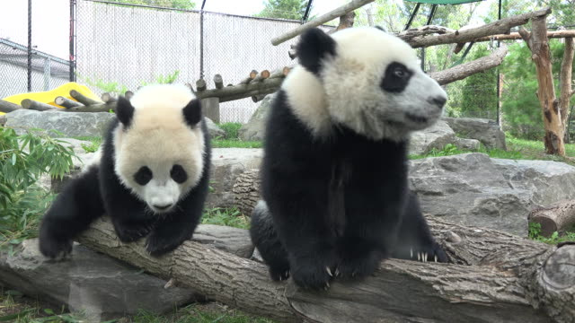 toronto zoo born giant panda cubs in its enclosure for the first time in the day the zoo announces a fundraiser dinner to celebrate the first... - bear cub stock videos and b-roll footage