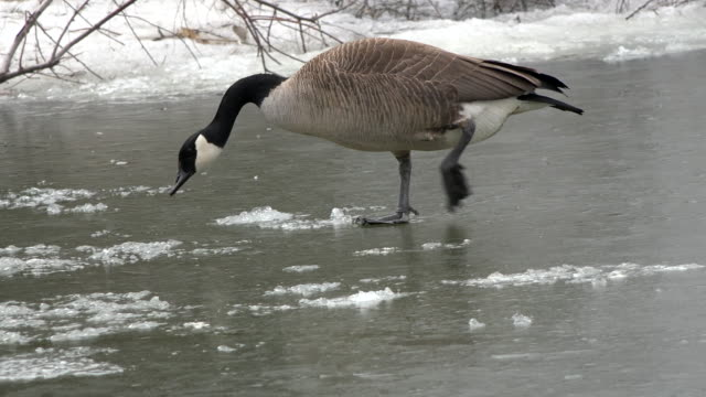 toronto,canada: migrating goose bird arrives early for the spring season. it walks over the frozen water of a city urban pond. - water bird stock videos & royalty-free footage