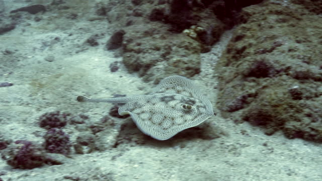 torpedo ray, cano island underwater - torpedo stock videos & royalty-free footage