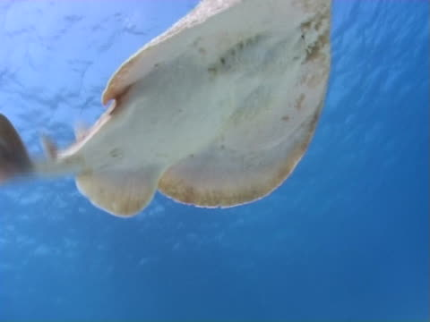 torpedo ray or marbled electric ray (torpedo sinuspersici). red sea - torpedo stock videos & royalty-free footage