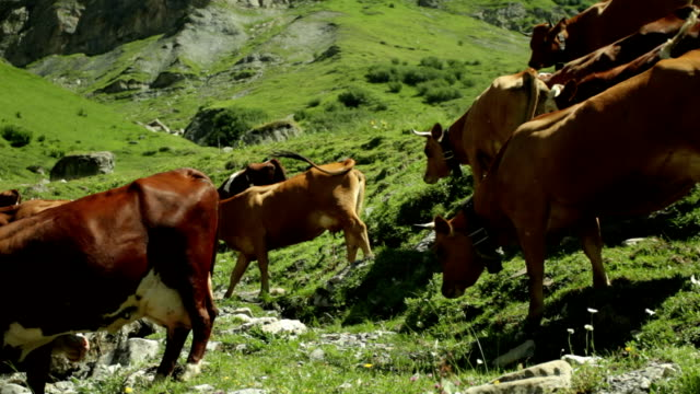 vidéos et rushes de torrent vaches - vache