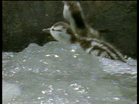 torrent duck ducklings try to jump up rock face in river, usa - rock face stock videos & royalty-free footage