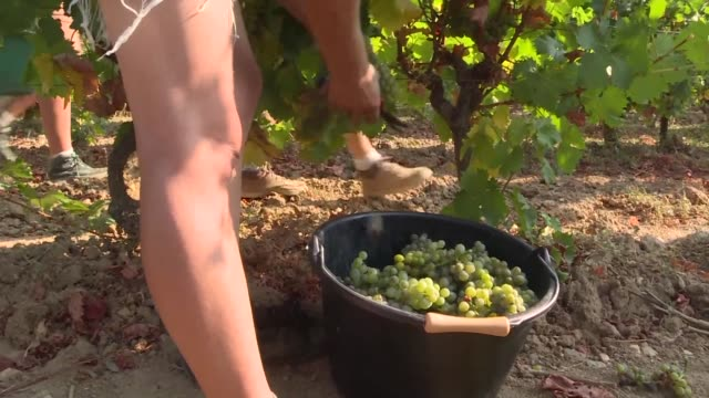torrid temperatures across much of france have made the past few weeks unbearable for many but with grape harvests kicking off this week some... - crop stock videos & royalty-free footage