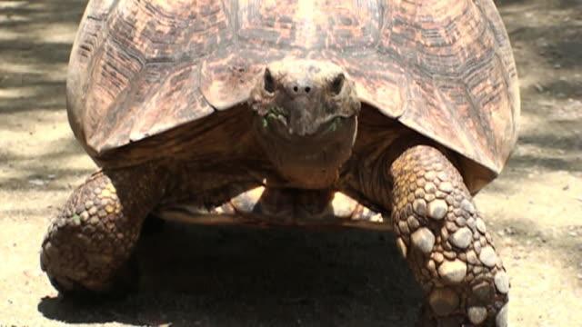 a tortoise crawls along dry ground. - langsam stock-videos und b-roll-filmmaterial