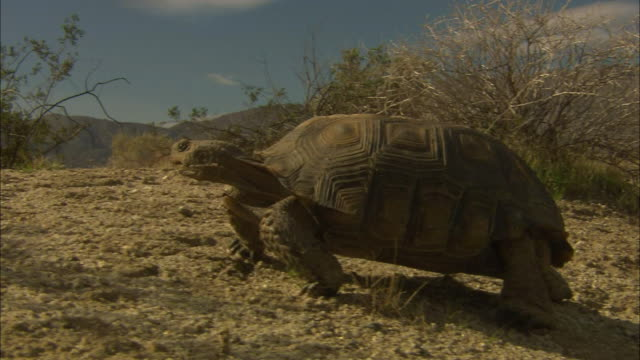 a tortoise crawls past desert plants. - tortoise stock videos & royalty-free footage
