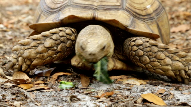 tortoise eating and walking - tortoise stock videos & royalty-free footage