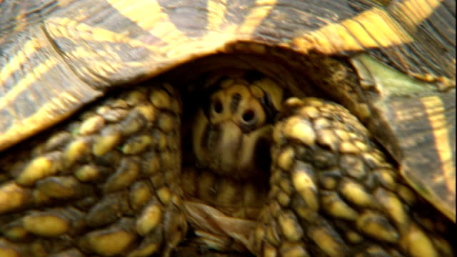 a tortoise hides its head inside its shell. - tortoise shell stock videos & royalty-free footage