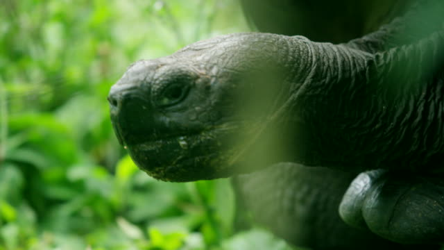 Tortoise in the Galapagos