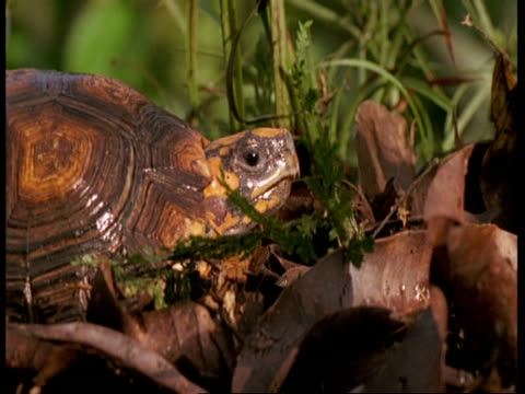 mcu tortoise looking around, amazon - tierhaut stock-videos und b-roll-filmmaterial