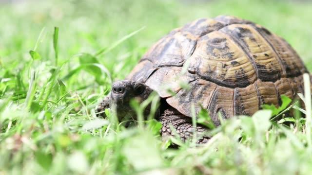 tortoise on green grass - tortoise shell stock videos & royalty-free footage