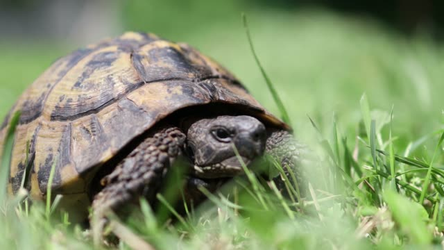 a tortoise on the move, slowly, in the grass - tortoise shell stock videos & royalty-free footage