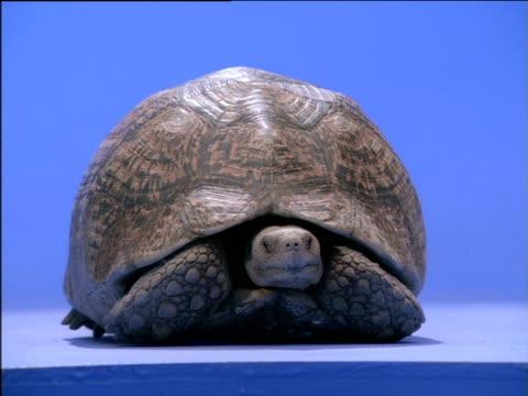 tortoise peers out from shell - landschildkröte stock-videos und b-roll-filmmaterial