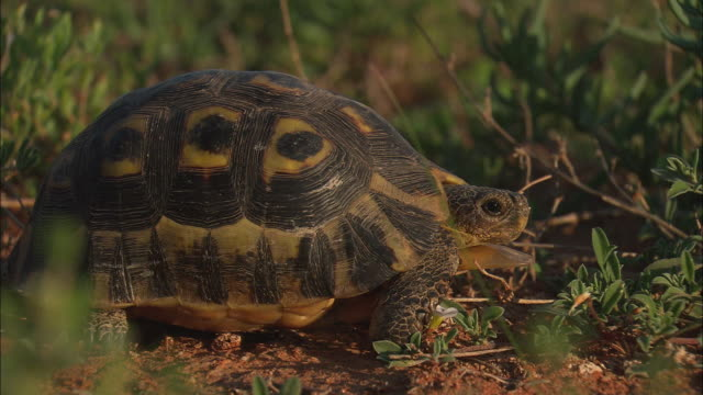 cu, tortoise poking its head out and walking away in desert, south africa - langsam stock-videos und b-roll-filmmaterial