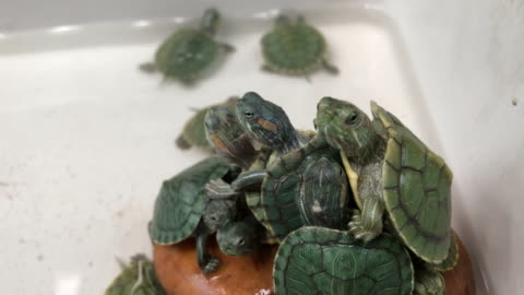 schildkröte, rot-eared slider - landschildkröte stock-videos und b-roll-filmmaterial