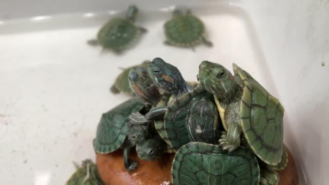vídeos y material grabado en eventos de stock de tortuga, resbalador rojo-espigado - organismo acuático