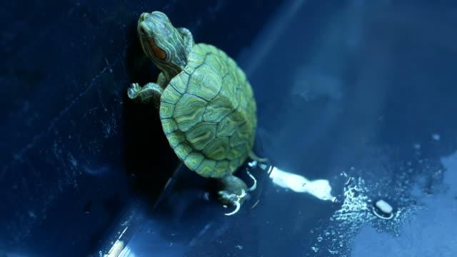 vídeos de stock, filmes e b-roll de tartaruga, slider vermelho-eared - muito pequeno