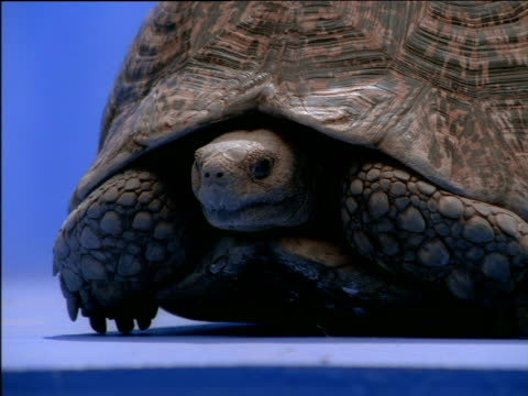 tortoise slowly shuffling forward - landschildkröte stock-videos und b-roll-filmmaterial