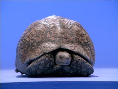 tortoise tentatively emerging from shell - landschildkröte stock-videos und b-roll-filmmaterial