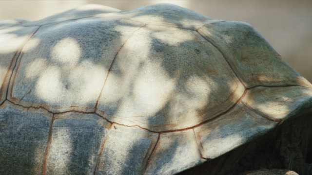 tortoise tucks head - extreme close-up of shell. - tortoise shell stock videos & royalty-free footage