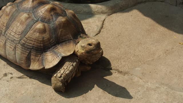 schildkröte langsam in bewegung - landschildkröte stock-videos und b-roll-filmmaterial
