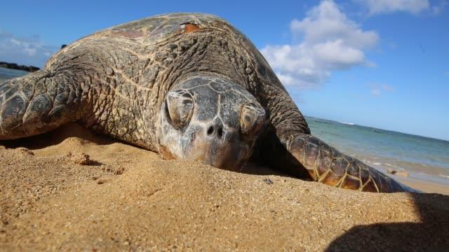 tortoise - pacifico occidentale video stock e b–roll