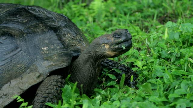 vídeos de stock, filmes e b-roll de tortoise - cágado réptil