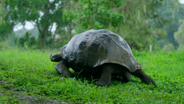 tortoise - galapagos islands stock videos & royalty-free footage