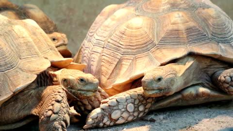 landschildkröte - landschildkröte stock-videos und b-roll-filmmaterial