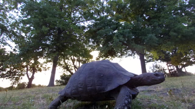 tortoise walking across the grass - tortoise stock videos & royalty-free footage