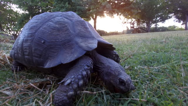 tortoise walking across the grass - herbivorous stock videos & royalty-free footage