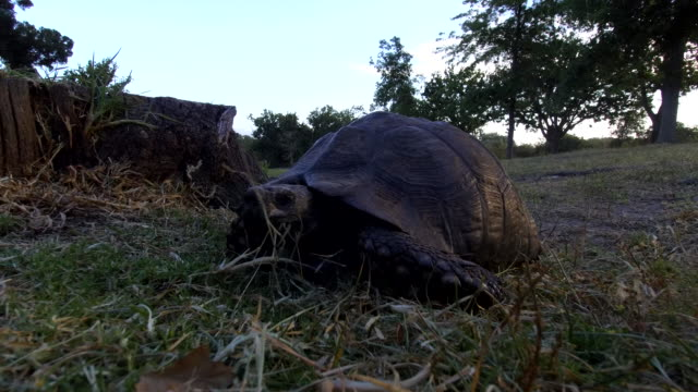 tortoise walking in nature - herbivorous stock videos & royalty-free footage